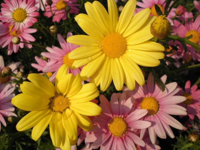黄色とピンクのマーガレット