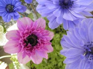 八重咲きのアネモネのピンクと紫