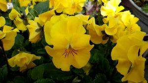 フリルビオラ黄色