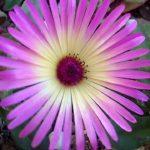 種まきのすすめ 園芸初心者にもおすすめの秋蒔きの花はリビングストンデージーです
