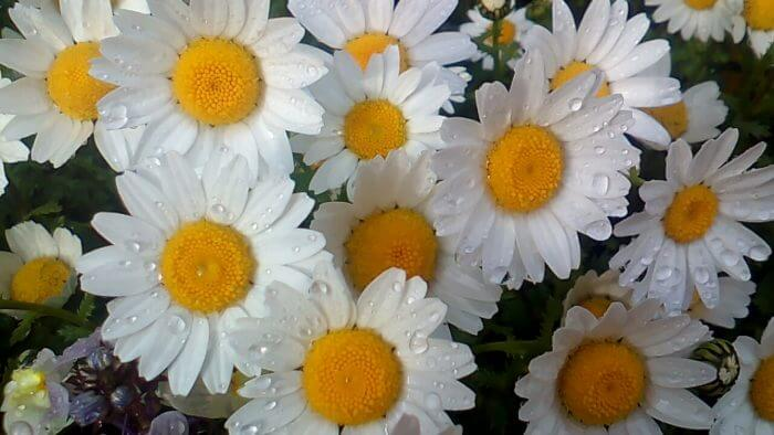 クリサンセマム(ノースポール)の花、水滴付き