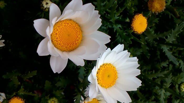 クリサンセマム(ノースポール)の花