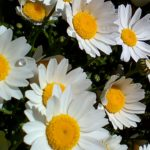 園芸初心者におすすめの花、クリセンサマム(ノースポール)一度植えればこぼれ種で毎年生えてきます