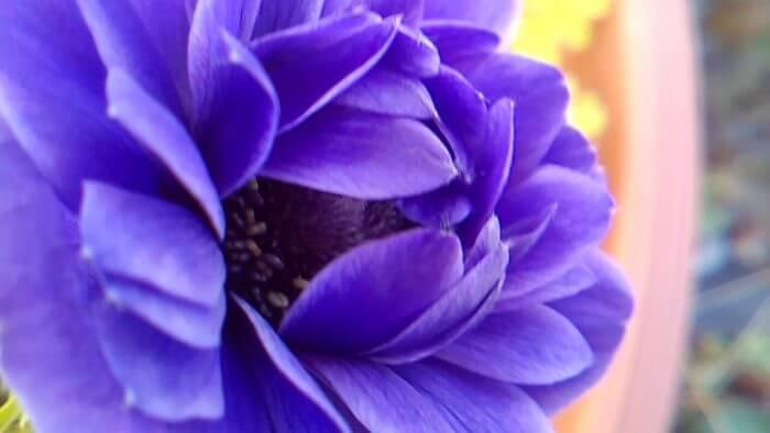 マクロレンズで撮影した紫のアネモネ