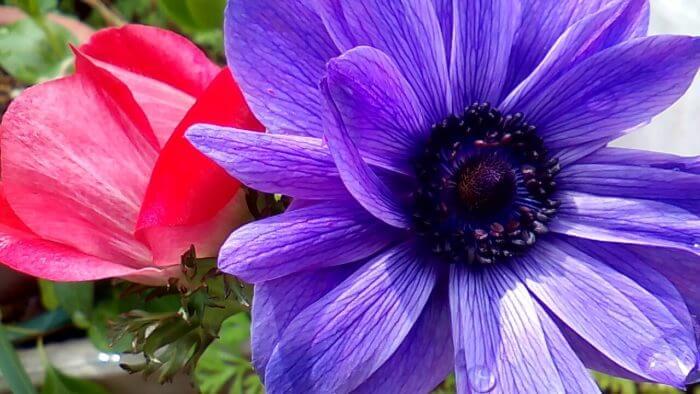 赤のアネモネの蕾と開花した紫のアネモネ