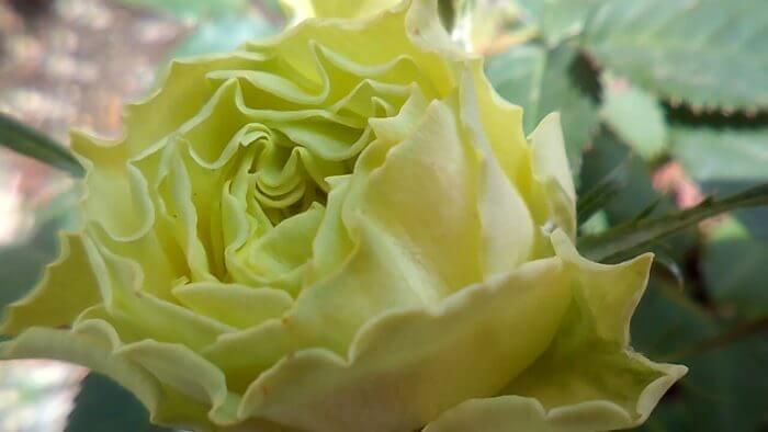 薄緑のミニバラ