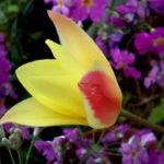 原種系チューリップのクルシアナ系赤黄タイプの見分け方 シンシア、チンカ、クリサンサの違いとは