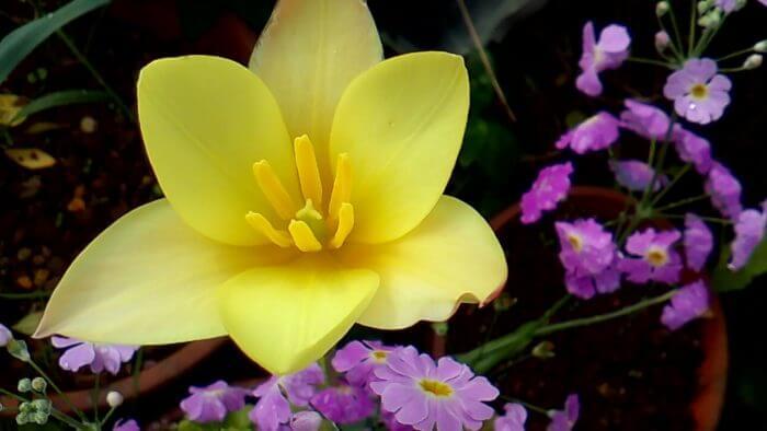 黄色い原種チューリップとピンクのサクラソウ