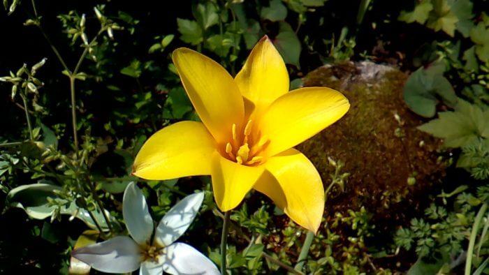 原種チューリップ クルシアナ クリサンサ