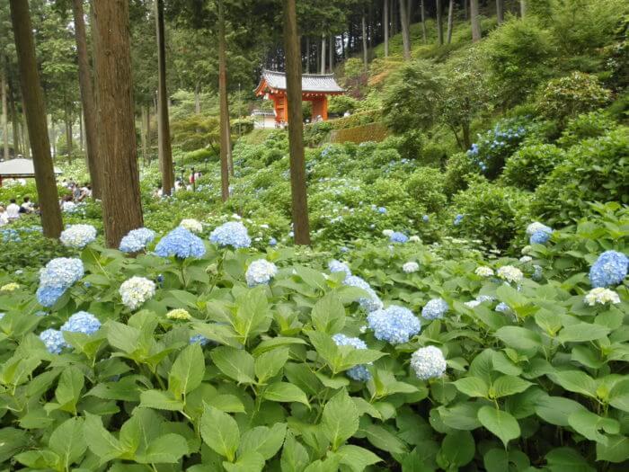 三室戸寺の紫陽花の様子