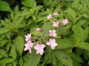 三室戸寺のピンクのガクアジサイ