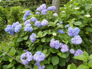 三室戸寺のブルーのアジサイ