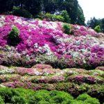 京都のおすすめの花のお寺 三室戸寺 ツツジも紫陽花も蓮も圧倒的な量で満開の花が見事です。