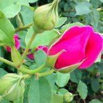 映画「美女と野獣」を見てきたのネタバレ感想を語りたいつっこみたい 薔薇はあんな散り方しない!