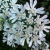 園芸初心者におすすめの花 オルレア 強い!倒れない!こぼれ種で育つ!