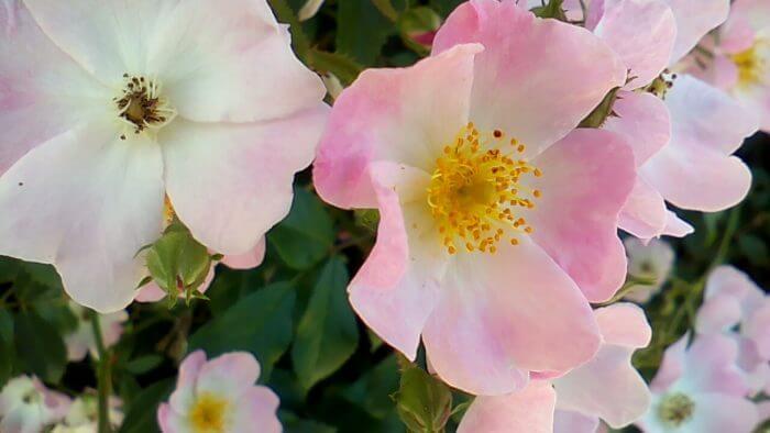 薔薇 バレリーナ