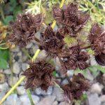 こぼれ種で毎年生えてくる強い手間無し簡単に育てられるオルレアの種の収穫