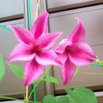 クレマチス プリンセスダイアナ と ダッチェスオブアルバニー との違いについて。チューリップ咲きのテキセンシス系でそっくりだけど違いがあります。