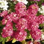 冬を彩る花として矮性ストックはいかがでしょうか?ビオラだけよりも高低差が出て華やかになります。園芸初心者でも種まきは簡単で発芽率がとてもよいです。
