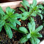 矮性ストックの育て方 苗が小さいうちに植え替えるのがコツです。一重もかわいいので気にせず植えちゃいましょう。