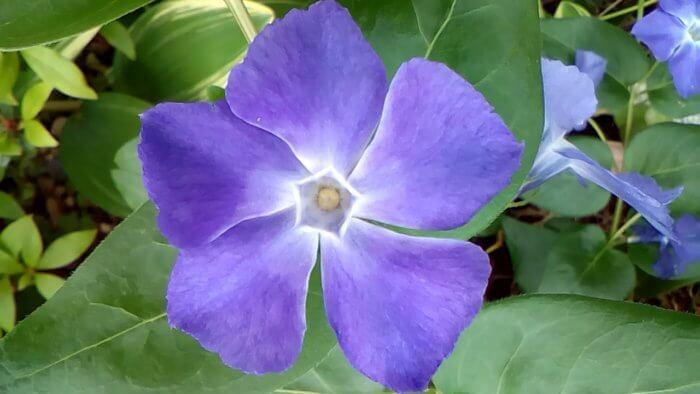 ツルニチニチソウの紫の花