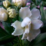 矮性ストックが開花をはじめました。ストックキスミーは種まきから開花まで80日前後で冬花壇を華やかにしてくれるのでおすすめです。