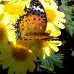 ビオラの周りにオレンジ色の蝶を見かけたらお薬を撒いてください。オルトランがおすすめです。