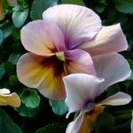 ビオラ ビビ マンゴーアンティークがとても可愛いのでファンになりました。冬花壇にぴったりな暖色です。