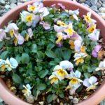 ビオラ ビビ アプリコットアンティークは 寒い季節は少し花びらが弱いですがとても可愛い花色です
