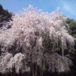 京都の桜は醍醐寺をおすすめしたい。一生に一度は見たいレベルですごい迫力の桜です。綺麗過ぎて口が開きっぱなしになります。