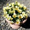 ビオラ ひよこももか はとても育てやすくて花色も綺麗でおすすめビオラです。