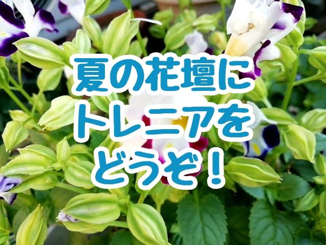 夏の花壇にトレニアをどうぞ!
