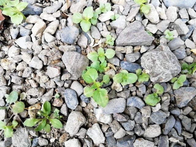 トレニアのこぼれ種で育った小苗