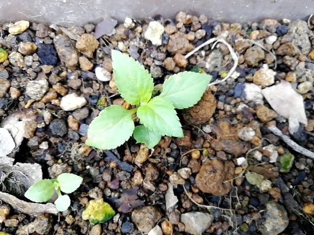 トレニアのこぼれ種で育った苗を植え替え