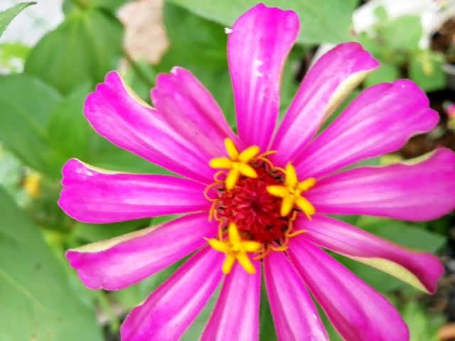 100均ダイソーの百日草の花