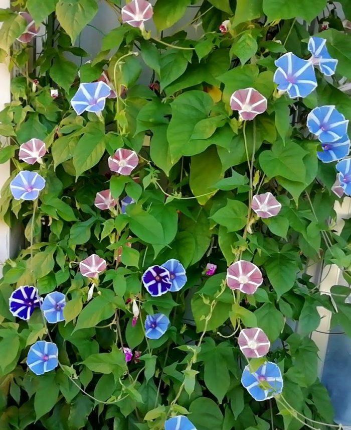 100均ダイソーの朝顔の種の開花状況