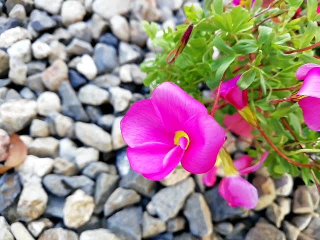 オキザリス 桃の輝き の花