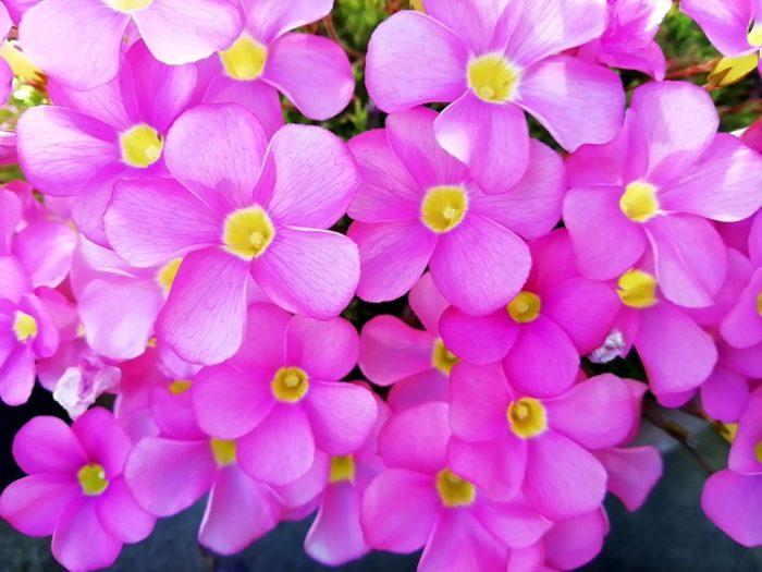 オキザリス 桃の輝き