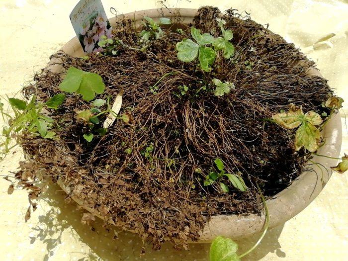 オキザリス 桃の輝き の枯れた鉢