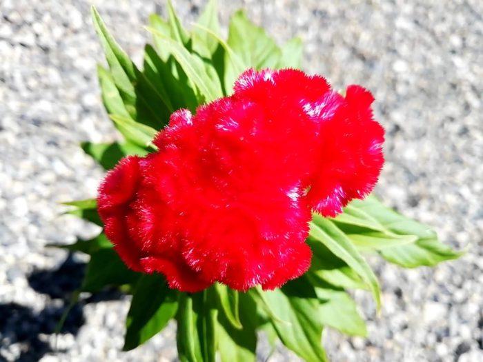 クルメケイトウの花色