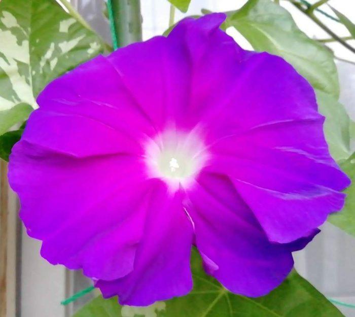 タキイの朝顔 大輪咲混合から咲いた紫花