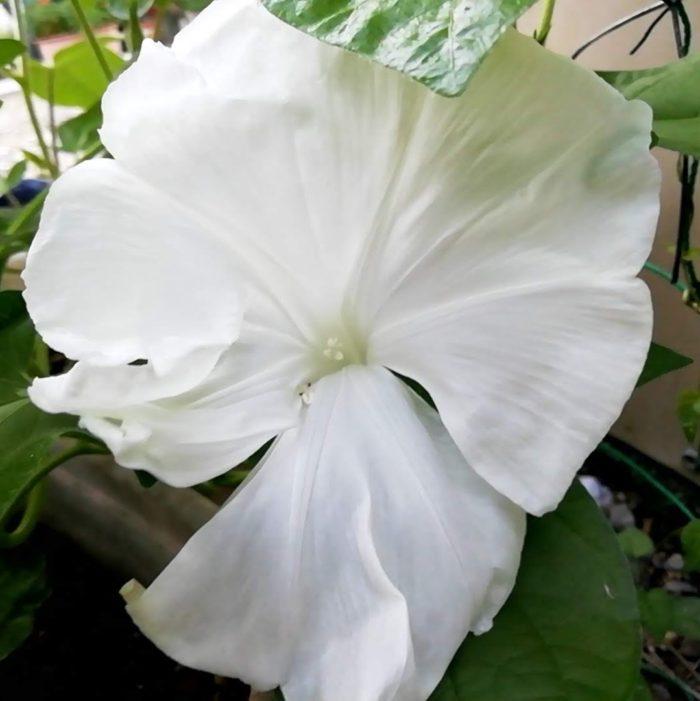 タキイの朝顔 大輪咲混合から咲いた白花