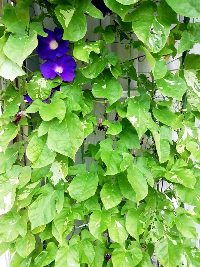 タキイの朝顔 大輪咲混合の葉っぱのでかさ