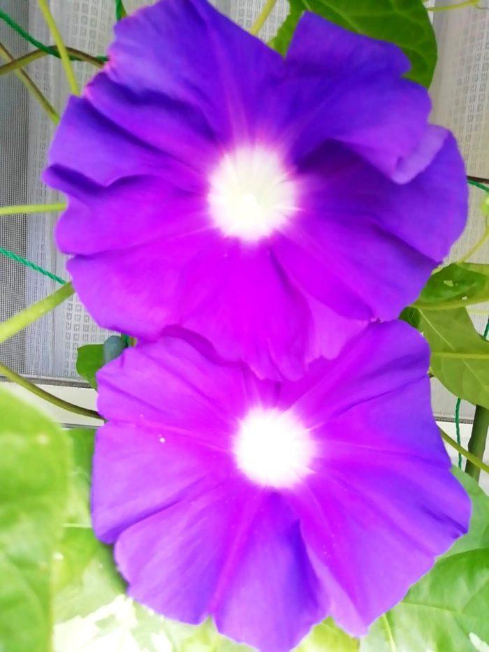 タキイの朝顔 大輪咲混合から咲いた紫花二輪